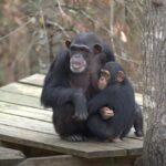 A Vida Secreta dos Chimpanzés: Nova série NatGeo em breve no Disney+