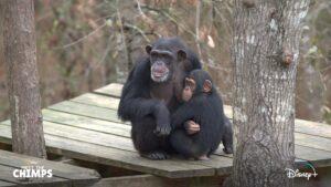 A Vida Secreta dos Chimpanzés Disney Plus