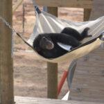 """NatGeo lança trailer de """"A vida secreta dos Chimpanzés"""" para o Disney+"""