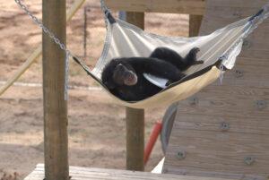 A vida secreta dos chimpanzés
