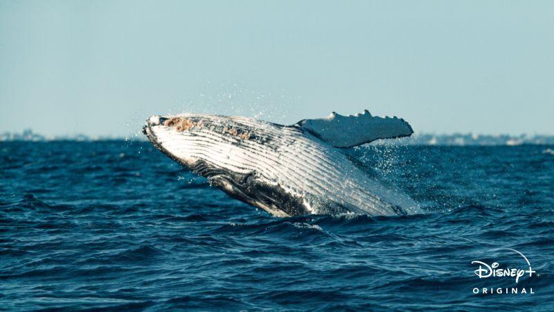 O-Segredo-das-Baleias-Ep2-As-Cancoes-das-Jubartes Lançamento do Dia da Terra no Disney+: O Segredo das Baleias